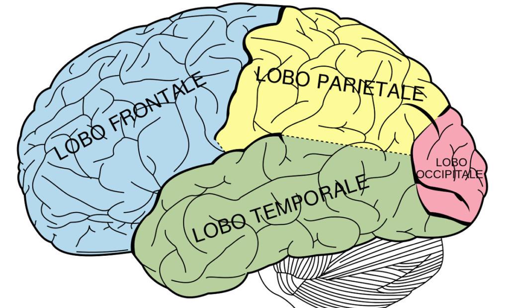 Aree del cervello